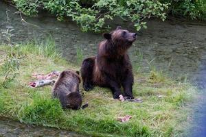 Grizzlybär foto