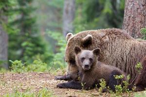 weiblicher europäischer Braunbär, der mit Jungtier schläft foto