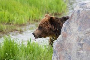 Grizzlyjunge Zunge foto