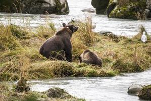Braunbär - Mutter bringt Jungtier bei, Fische zu fangen foto