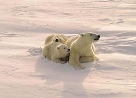 Eisbär und Jungen foto