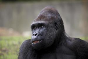 Gorilla lächelt