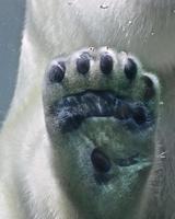 Eisbär Pfote foto