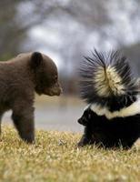 Schwarzbärenjunges und gestreifte Stinktierbewegungsunschärfe foto