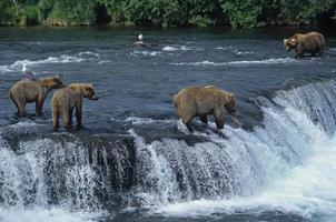 Grizzly mit ihren Jungen am Wasserfall, großer Mann nähert sich.