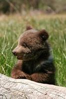 Grizzlybärenjunges sitzt auf dem Baumstamm