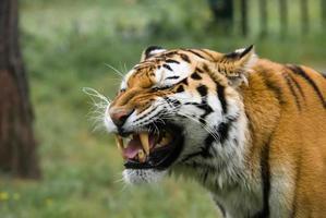 wütender Tiger foto