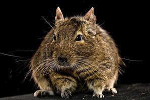 fetter Degu-Hamster