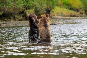 Grizzlys foto