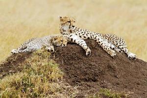 Masai Mara Geparden foto