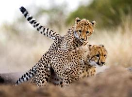 Gepardenjagd