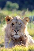 sub erwachsener männlicher Löwe foto