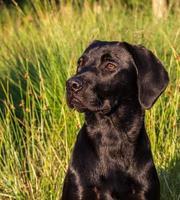 Labrador schaut nach links