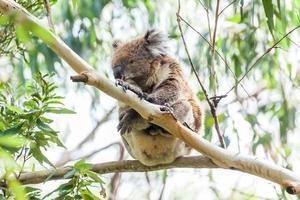 Koalabär foto