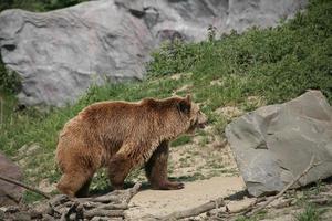 Kodiak Bär foto