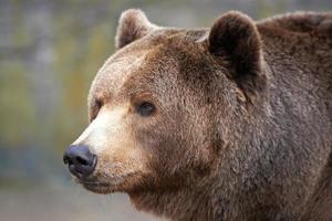 Braunbär (ursus arctos) foto