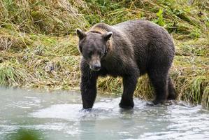 Alaska - Braunbär, der einen Fisch fängt foto