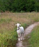 weiße Ziege auf Wiese foto