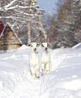 zwei weiße Ziegenbabys