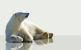 Eisbär liegt auf dem Eis.