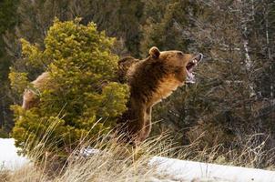 knurrender Grizzlybär foto