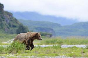 Grizzlybär (Urus Arctos Horribilis) foto