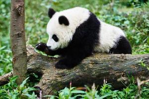 Panda Bärenjunges spielt Sichuan China foto
