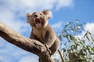 Koala sitzt und gähnt auf einem Ast. foto