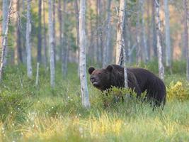 Braunbär (ursus arctos) in freier Wildbahn foto