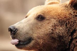 das Gesicht eines Bären