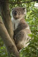Koalabär.