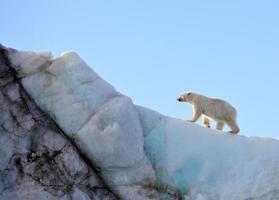 Eisbär foto