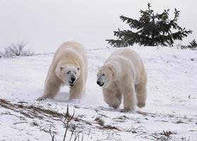 Eisbären foto