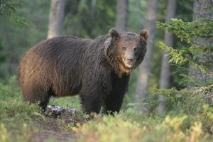 Europäischer Braunbär, Ursus Arctos foto
