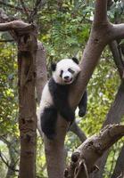 Pandajunges in den Bäumen foto