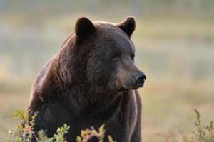 männliches Braunbärenporträt foto