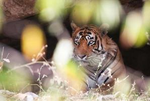 indischer Tiger in einer Höhle foto