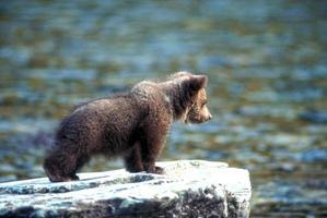 Grizzlybärenjunges auf Felsen, der in Flathead River schaut foto