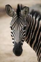 Chapman's Zebra (Equus Quagga Chapmani). foto
