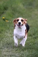 Beagle foto