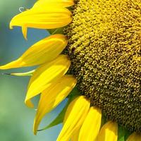 Sonnenblume hautnah mit Biene foto