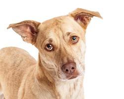 Nahaufnahme von Chihuahua Corgi Mix