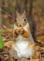 Eichhörnchen mit einer Eichel