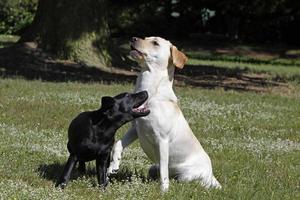 Labrador Retriever spielen, einschließlich eines schwarzen Welpen foto