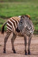 afrikanisches Ebenenzebra auf dem trockenen braunen Savannengrasland, das durchsucht foto