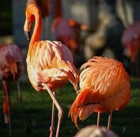 hellrosa Flamingo auf dem grünen Hintergrund