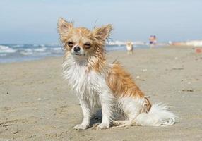 nasse Chihuahua foto