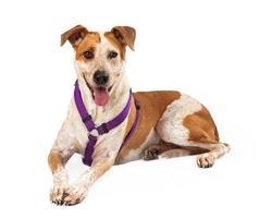 Geschirrter goldener und weißer Hund, der mit ausgestreckter Zunge sitzt