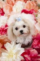 Malteser Terrier
