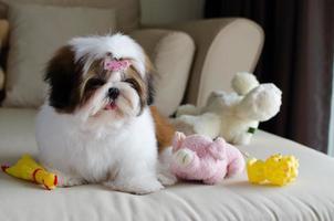 Der süße Shih Tzu Welpe sitzt auf dem Sofa